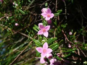 Boronia rosmarinifolia