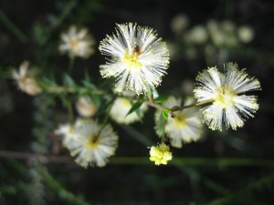 FLOWERING NOW in coastal areas - Prickly Moses - Acacia hubbardiana