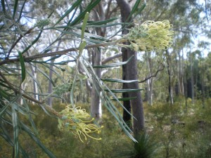 Escapee Grevillea in local bushland