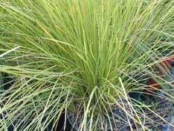 Carex_appressa