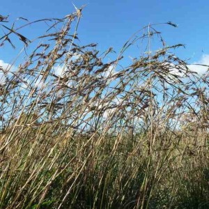 Barbed wire grass (Cymbopogon refractus)