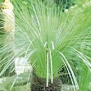 thumb_180_plant_xanthorrhoea_johnsonii_1_29