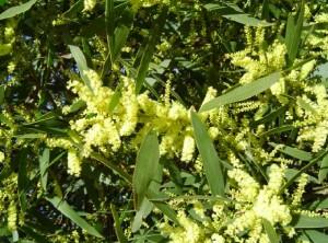 Acacia longifolia var sophorae.jpg.preview