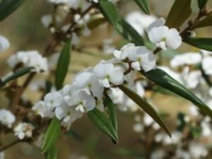 Hovea acutifolia White - Forest Hovea