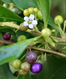 Mangrove Boobialla