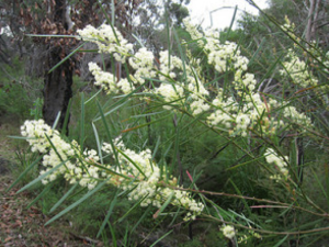 Acacia sauveolens