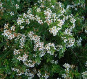 Sannantha similis