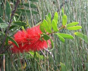 Melaleuca pachyphylla