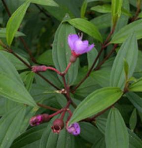 SMelastroma malabathricum