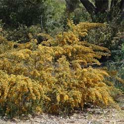 pultenaea-villosa-dig-7005-sm