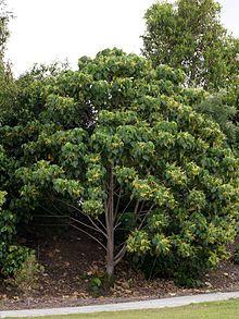 220px-Macaranga_tanarius_Tree_1