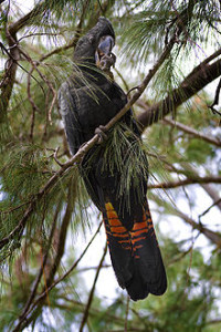 220px-Red-tailed_Black_Cockatoo_(Calyptorhynchus_banksii)_on_Casuarina_tree