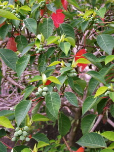 Homalanthus nutans
