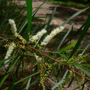 Acacia_longissima