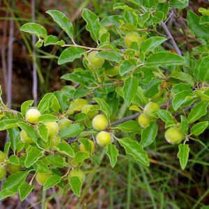 petalostigma-pubescens