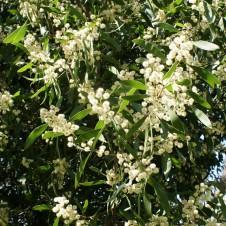 Acacia-melanoxylon-4-226x226
