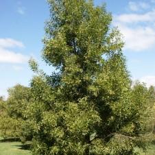 Acacia-melanoxylon-41-226x226