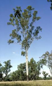 Corymbia tesselaris