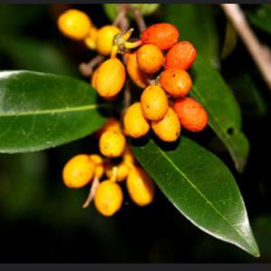 polyalthia nitidissima