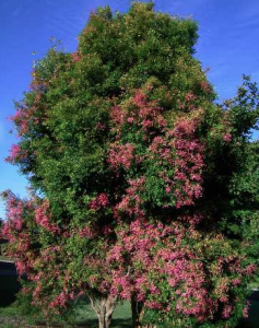 Syzygium luehmanni