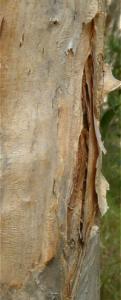 Melaleuca quinquinervia
