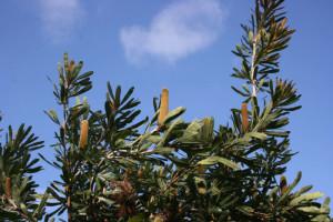banksia-serrata