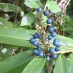 150x150_Alpinia caerulea 1