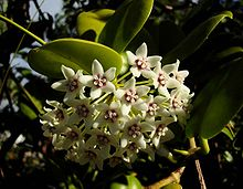 220px-Hoya_australis