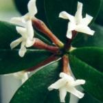 Alyxia ruscifolia 1