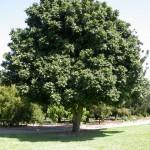Castanospermum-australe-2-150x150