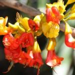 Castanospermum-australe-flowers1-150x150
