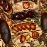 Castanospermum-australe-seeds-150x150