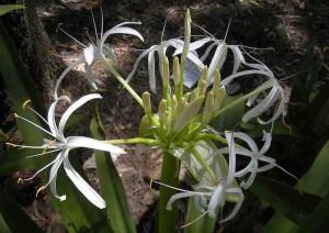 Crinum_pedunculatum_flowers