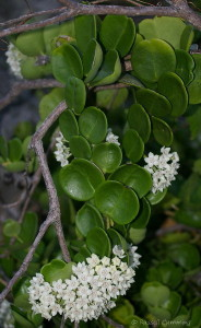 Hoyaaustralis