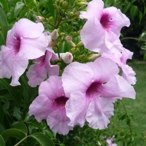 Pandorea jasminoides