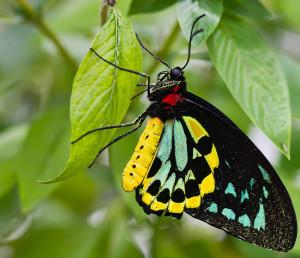 Richmond-Birdwing