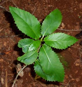 Native hydrangea