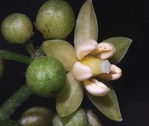 Native hydrangea flower