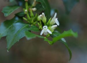 Graptophyllum spinigerum