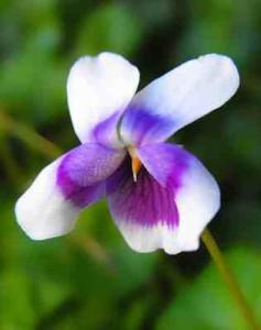 Viola banksii 2