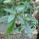 150x150_Abrophyllum ornans 16 218