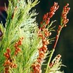 150x150_Baloskion tetraphyllum 1