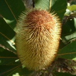 150x150_Banksia robur 3