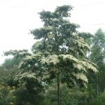 150x150_Commersonia bartramia 3