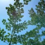 150x150_Elaeocarpus grandis 1
