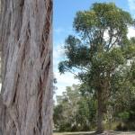 150x150_Eucalyptus robusta 3