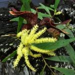 150x150_acacia_dispar_mangrove_078
