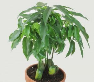 Castanospermum-australe-300x262