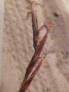 Scheonus calostachyus2