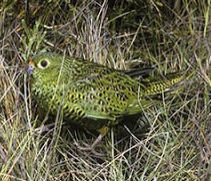 Ground Parrot
